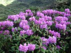 Rhododendron Tour